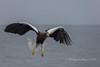 Steller's Sea Eagle 2018 (pixellesley) Tags: stellers eagle raptor bird flight wings agility ocean seaofjapan hokkaido hunting fishing flying circling diving feeding