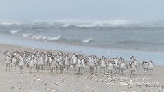 willets 1947 (cjnewlife12) Tags: willets birds beach outerbanks