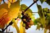 Circuit pédestre Wellenstein (Robert GLOD (Bob)) Tags: autumn landscape landscapes leave leaves season seasons vine vines vineyard wellenstein grevenmacher luxembourg lu