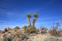Nina Mora Trail (Dawn Coyote) Tags: mojave national preserve providence mountains state recreation yucca