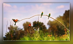 European Bee Eaters (Kike K.) Tags: bird animal beak feathers dragonfly insect color canon amateur 80d canon70200f4l nature natural walk hiking isonzo soča river water odonata sun light sunlight daylight tail may 2017 heat humidity pond branch fly flight flying meal telephoto crop gimp gmic artistic experimental italy italia