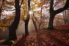 The Golden Hour (Hector Prada) Tags: otoño autumn bosque forest luz light hayedo beech hojas leaves árbol tree sol sun niebla fog bruma mist efímero ephemeral musgo moss mood contraluz backlight magic naturaleza nature woods dorado golden sunshine paísvasco basquecountry