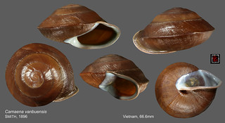 camaena vanbuensis vietnam 66mm6