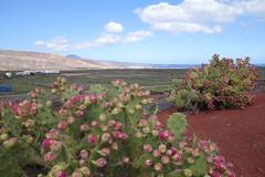 Tuna plants (koukat) Tags: lanzarote cactus garden cesar manrique jardin islas canarias canary islands quarry windmill