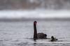 Black Swan (Cygnus atratus) Juodoji Gulbė