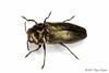 Coraebus elatus (Hyönteismies) Tags: buprestidae coleoptera coraebuselatus beetle dettk hyönteinen insect jalokuoriainen jalokuoriaiset kovakuoriainen kuoriainen pmn selkärangaton studio ötökkä