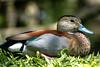 duck (alain01789) Tags: duck canard velvia nature