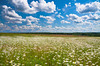 IMG_3677  o (yanikap) Tags: summer nature flowers white meadow spring sky field scene beautiful chamomile camomile non urban landscape wildflower wild rural blossom blooming flowering cloudscape lush scenic scenery flora floral