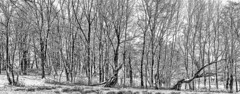 Winter,Groningen ,the Netherlands,Europe (Aheroy) Tags: bw aheroy aheroyal zw blackwhite landscape landschap groningen wood bomen hout winter nature graphic