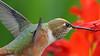 Rufous Hummingbird. (photosauraus rex) Tags: bird rufous hummingbird rufoushummingbird