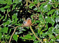 Chaffinch not included (Luzon Jim) Tags: winter month finches camera nikon outdoor green hedge wildlife bird