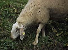 Pecorella (Steclick187) Tags: pecora sheep pastorizia transumanza tradizioni mangiare erba campi ariaaperta pascolare