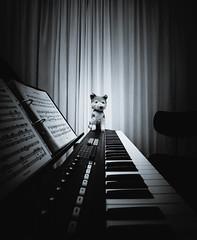 Mein Dirigat ist das Klarste ... (WolfiWolf-presents-WolfiWolf) Tags: wolfiwolf conductor dirigent music jazzinbaggies jazz composition keyboard keybass wolf eneamaemü er cute leben zuckerbrotundpeitsche dassein kunst vignette curtain strong eternal beautiful animal