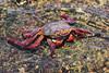 Sally Lightfoot Crab (Linda Martin Photography) Tags: mexico crustacean cabosanlucas bajacalifornia sallylightfootcrab pacificocean grapsusgrapsus coth naturethroughthelens ngc npc