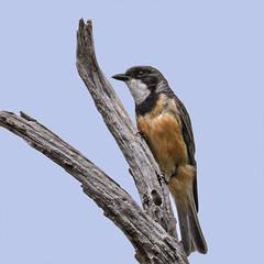 ♂ rufous whistler (Fat Burns ☮ (on/off)) Tags: rufouswhistler pachycephalarufiventris bird smallbird australianbird australianfauna fauna whistle rnikon d500 nature sigma150600mmf563dgoshsmsports riverbend wallaroo nsw australia outdoors
