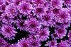 Flower (Carandoom) Tags: fleur flower suisse switzerland 2017 macro close up