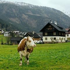 Austrian Cow (szeke) Tags: austria cow bovine