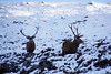 Deer Oh Deer (steve_whitmarsh) Tags: aberdeenshire scotland scottishhighlands highlands winter snow ice nature wildlife animal deer reddeer