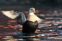 King Eider (grahamsandra) Tags: batsfjord finnmark norway no king eider duck seaduck