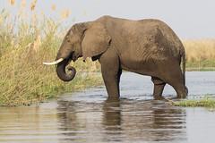 a lean mean snacking machine......well maybe not so lean (charlesgyoung) Tags: charlesyoung zambia africa safari wildlifephotography essentialafrica elephant karineaignerphotographyexpedition chiawabushcamp lowerzambezinationalpark zambeziriver nikon nikonphotography nikondx d500 200500