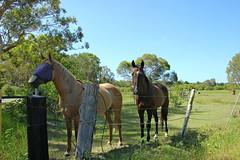 horsing around (Gillian Everett) Tags: horses countryside rural queensland 365 2018 mdpd2018 mdpd20181 52 week3