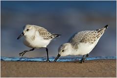 Sanderlings (Antony Ward) Tags: coathambeach redcar teesside waders sanderlings
