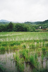Paddy fields of Gongxing Village (elleynathompson) Tags: china old historic film 35mm guangzhou giangdong guangdong cantonese canton rice field ricepaddy conghua conghuachina mocun village contact t2 contaxt2 portra 400 portra400