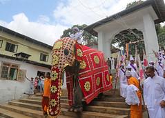 Kandy Day Perahera (1X7A4689b) (Dennis Candy) Tags: srilanka ceylon serendib kandy esala day perahera festival celebration parade procession street religion buddhism culture tradition heritage elephant caparison peramunarala official gedigemahaviharaya steps
