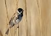 Bruant des roseaux (Michel Idre - 7 millions de vues merci) Tags: oiseau bird aves gruissan aude bruantdesroseaux