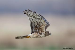 female harrier hawk hunting