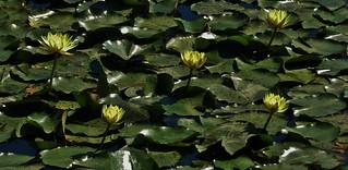 Kent Island Yellow Water Lilies