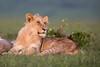 Youngster (Thomas Retterath) Tags: adventure wildlife abenteuer nature natur safari kenya africa afrika masaimara thomasretterath löwin pantheraleo lion bigfive löwe felidae raubtiere predator carnivore säugetier mammals animals tiere lioness cub coth5