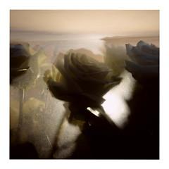 White Roses (ngbrx) Tags: strasbourg alsace france frankreich roses rosen shadow schatten strasburg elsass grand est flowers blumen