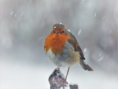 Today's Weather..x (Lisa@Lethen) Tags: bird nature weather robin snow storm winter cold flakes wildlife