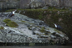 Courtship or Territorial Dispute (Robin M Morrison) Tags: dipper dippers river lyn exmoor devon riverlyn