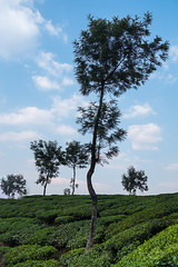 plantation (Wanda Amos@Old Bar) Tags: india teaplantation trees sky
