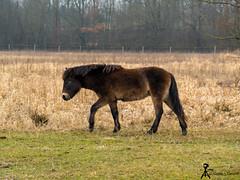 wild horse (martin.smolak) Tags: wild horse nature tree grass water swamp animal czech republik jaromer bird park josefov meadow fied forest wood field