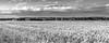 ile-289 (Tasmanian58) Tags: wheat field blackandwhite bw noiretblanc orleansisland quebec canada nikon rokor landscape clouds sky forest