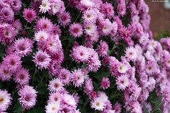 Flower Wall (Gabriel @@~) Tags: sony a7ii minolta af 70210mm f4 beercan