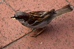 IMG_4811 (Lightcatcher66) Tags: spatzensparrows florafauna makros lightcatcher66