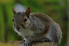 Good Morning (ACEZandEIGHTZ) Tags: eastern gray squirrel nikon d3200 fence nature animal sciurus carolinensis portrait closeup macro bokeh coth coth5 sunrays5