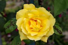 Vacances_0328 (Joanbrebo) Tags: riquewihr grandest francia fr alsace hautrhin canoneos80d eosd efs1855mmf3556isstm autofocus flors flores flowers fleur fiori blumen blossom rosa rose