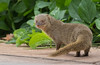 MONGOOSE (HERPESTES JAVANICUS)  7DC_5983-1 (Eric SF) Tags: mongoose herpestesjavanicus koolina oahu hawaii