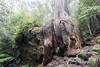 The Secret Life of Trees (Keith Midson) Tags: tree octopustree springs mtwellington hobart tasmania kunanyi forest rock roots trees woods nature