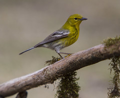 Pine Warbler, male (AllHarts) Tags: malepinewarbler backyardbirds memphistn naturesspirit thesunshinegroup coth coth5