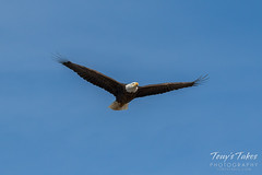 Bald Eagle flyby - 1 of 6