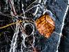 frozen leaf (MAICN) Tags: 2018 winter nature wasser leaf blatt wald natur forrest eis nahaufnahme lake front see ice water gefroren frozen