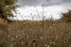 2017-09-15_14-40-56 Wildflower Patch (canavart) Tags: couttscentreforwesterncanadianheritage nanton alberta couttscentre southernalberta southwesternalberta prairie canadian canada west wildflowers autumn fall