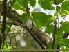 Rusty-tailed Flycatcher (Muscicapa ruficauda) (gilgit2) Tags: avifauna birds canon canoneos7dmarkii category fauna feathers geotagged haripur imranshah kpk location neelankhas pakistan rustytailedflycatchermuscicaparuficauda species tags tamron tamronsp150600mmf563divcusd wildlife wings gilgit2 muscicaparuficauda
