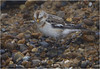 Snow Bunting (Gary Watson) Tags: canon 7d 500 f4 can0n 1x4 tc nissin di866mkii flash better beamer extender fill north norfolk beach snow bunting